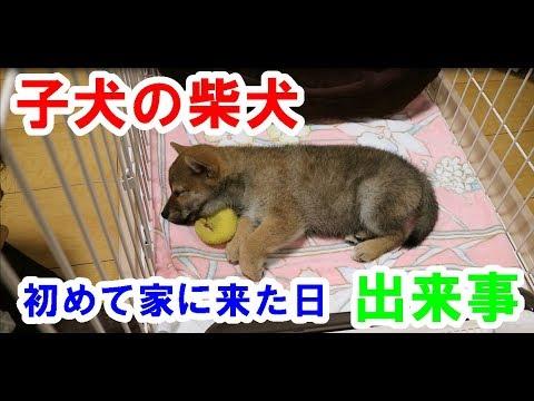 子犬の可愛い柴犬が初めて家に来た日の出来事!shiba inu puppy