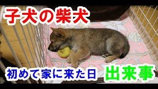 サブチャンネルには子犬の柴犬の動画だけあります! 下記柴犬ハマ吉チャ...