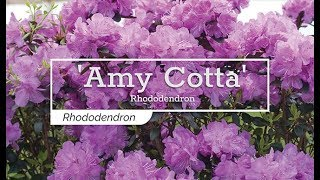 30 Seconds with 'Amy Cotta' Rhododendron