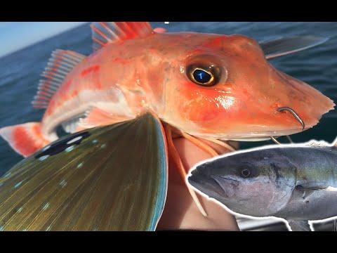 Deepwater Fishing For Winter Gurnard (Surprise Kingfish)