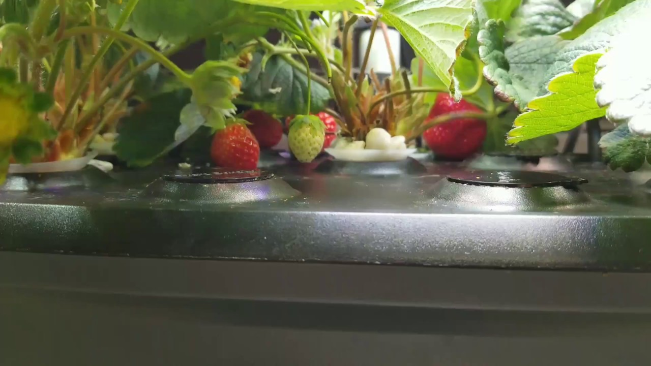 AeroGarden Strawberry Grow Success: Tips and Tricks, Lessons Learned