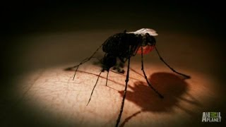 Mosquito Transferred Virus | Monsters Inside Me