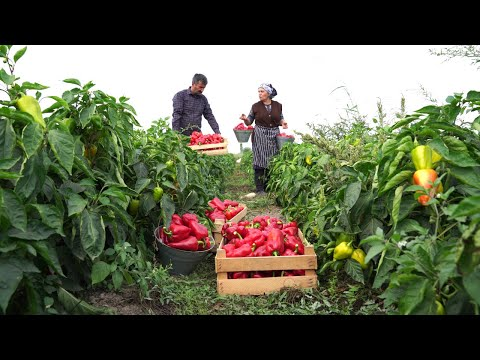Bell Pepper Harvest   Cooking Country Style Bell Pepper Paste