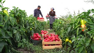 Собрали Урожай Болгарского Перца и Приготовили Пасту на Зиму