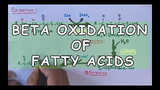 Beta Oxidation of Fatty Acids | Degradation of Saturated Fatty Acids