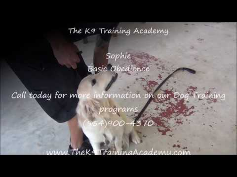 Sophie with Basic Obedience - The K9 Training Academy