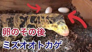 ミズオオトカゲ の産卵した卵のその後について撮影をしてみました □ チ...