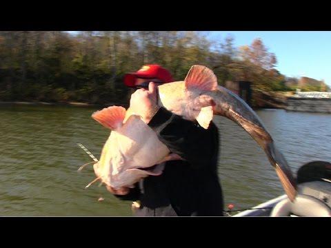 Flathead Catfishing Tips: Fishing for Flathead Catfish using cut shad