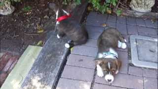 Ebo The Graceful (cute Puppies, Cardigan Welsh Corgi's, At 9 Weeks)