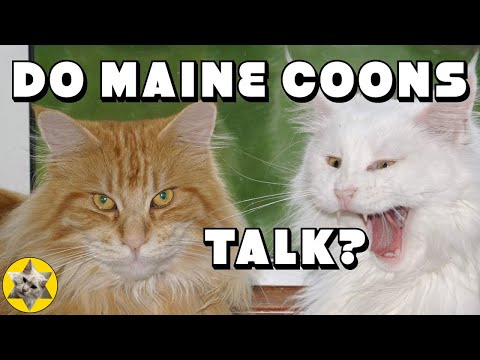 What does a Maine Coon sound like? Hear our loud Maine Coon talking.