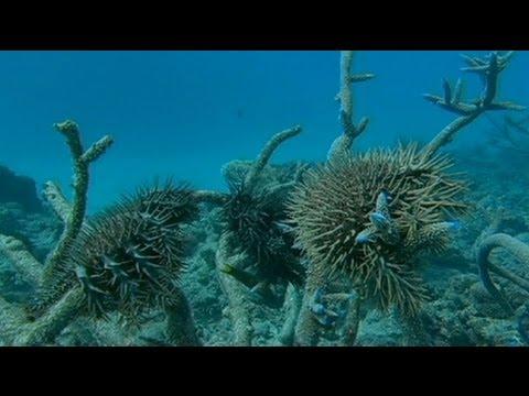 La Grande barrière de corail toujours plus menacée de disparition