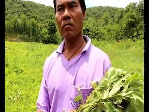 VDOเกษตรกรผู้ปลูกถั่วลิสง คุณไสว จ กาญจนบุรี