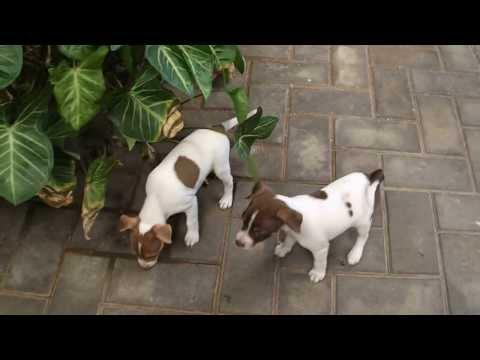 Tenterfield Terrier Rosie 2nd litter (7weeks)