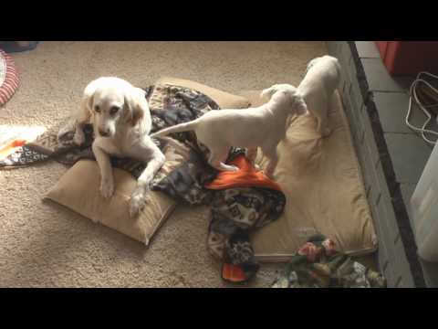 8 week old English Setter puppies (HD video)