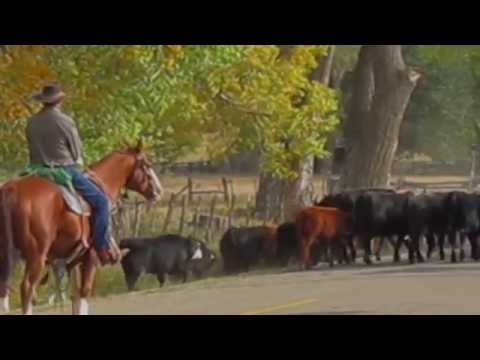 Cattle Drive thru Mancos Colorado