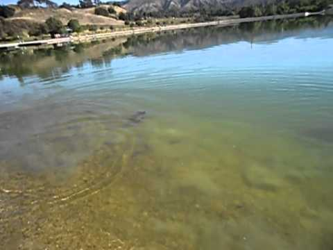 Huge carp at hansen dam youtube for Hansen dam fishing