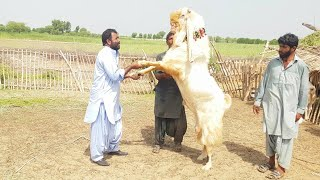 Million Dollar Giant Gulabi Goat Of World|Interview with Dil Murad Bugti