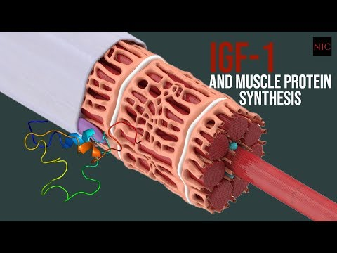 SQ: Insulin-like Growth Factor (IGF) and Muscle Synthesis