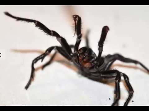 Venom from the funnel web spider could prevent brain damage from strokes after 'world first discover
