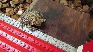 Feeding my pet toad