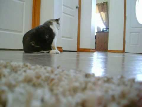 fat cat meowing and falling over youtube