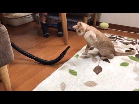 【貴重映像】初めて「シャー」と威嚇する猫  A cat threatens a vacuum cleaner by hissing.