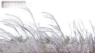 The stunning reed flower field in E China's Jiangsu becomes a net famous photo spot!