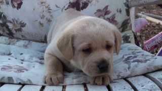 Golden Retriever Pup - Male