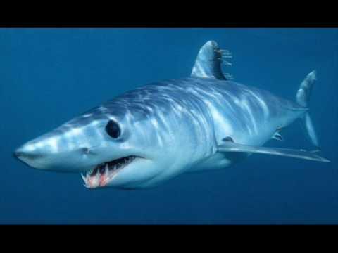 fight to the death mako shark vs. sand tiger shark.wmv - YouTube