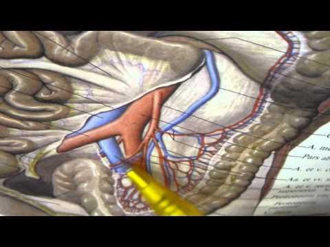 Anatomy - Aorta 5
