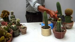 Otra vez los cactus injertos   2