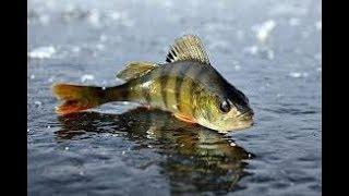 Ловля окуня. Зимняя рыбалка. Поиск окуня на водоеме.