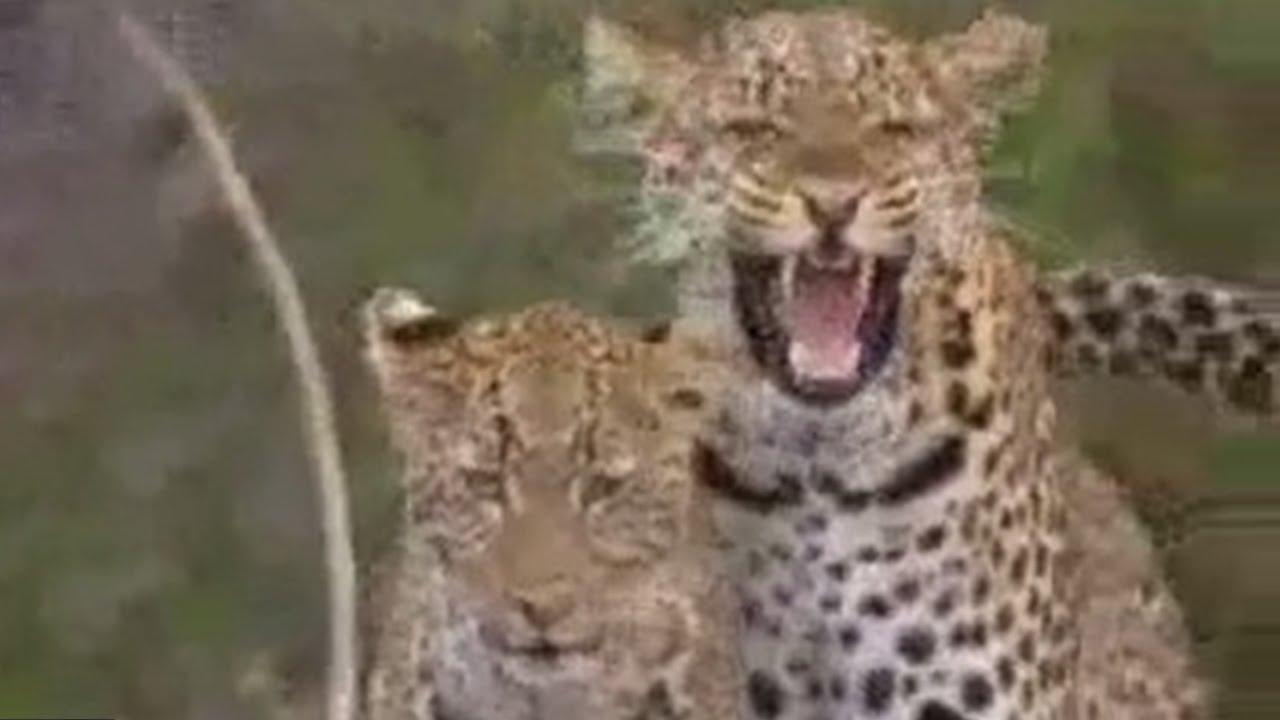 Social behavior of lions, leopards and cheetahs - BBC wildlife