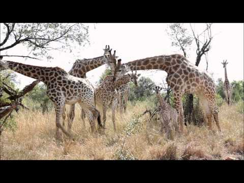 Thumbnail: Giraffe Birth and Herd reaction caught on camera.