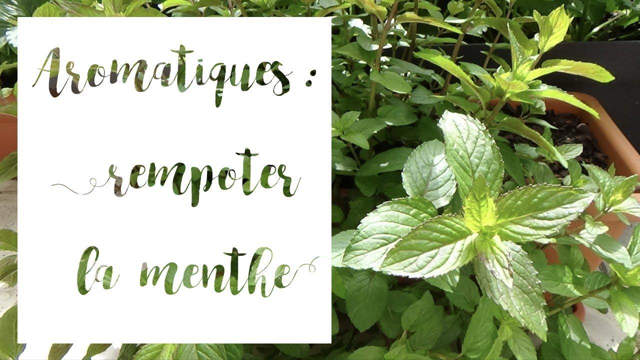 Planter Menthe En Pot comment rempoter la menthe | serie aromatiques en pot | tuto jardinage