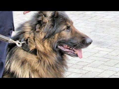 Ogromny Mundurowy i jego pies. Sprawdź, co potrafią policyjne czworonogi OX54