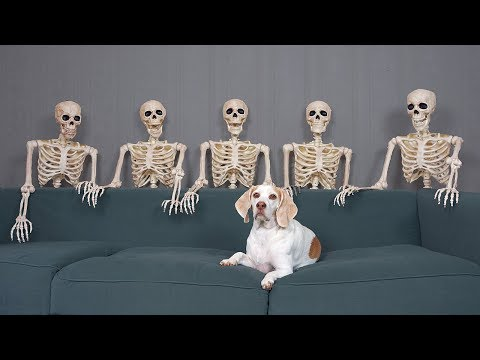 Dog Unimpressed by Skeletons: Funny Dog Maymo