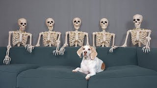 Dog Unimpressed by Skeletons: Funny Dog Maymo
