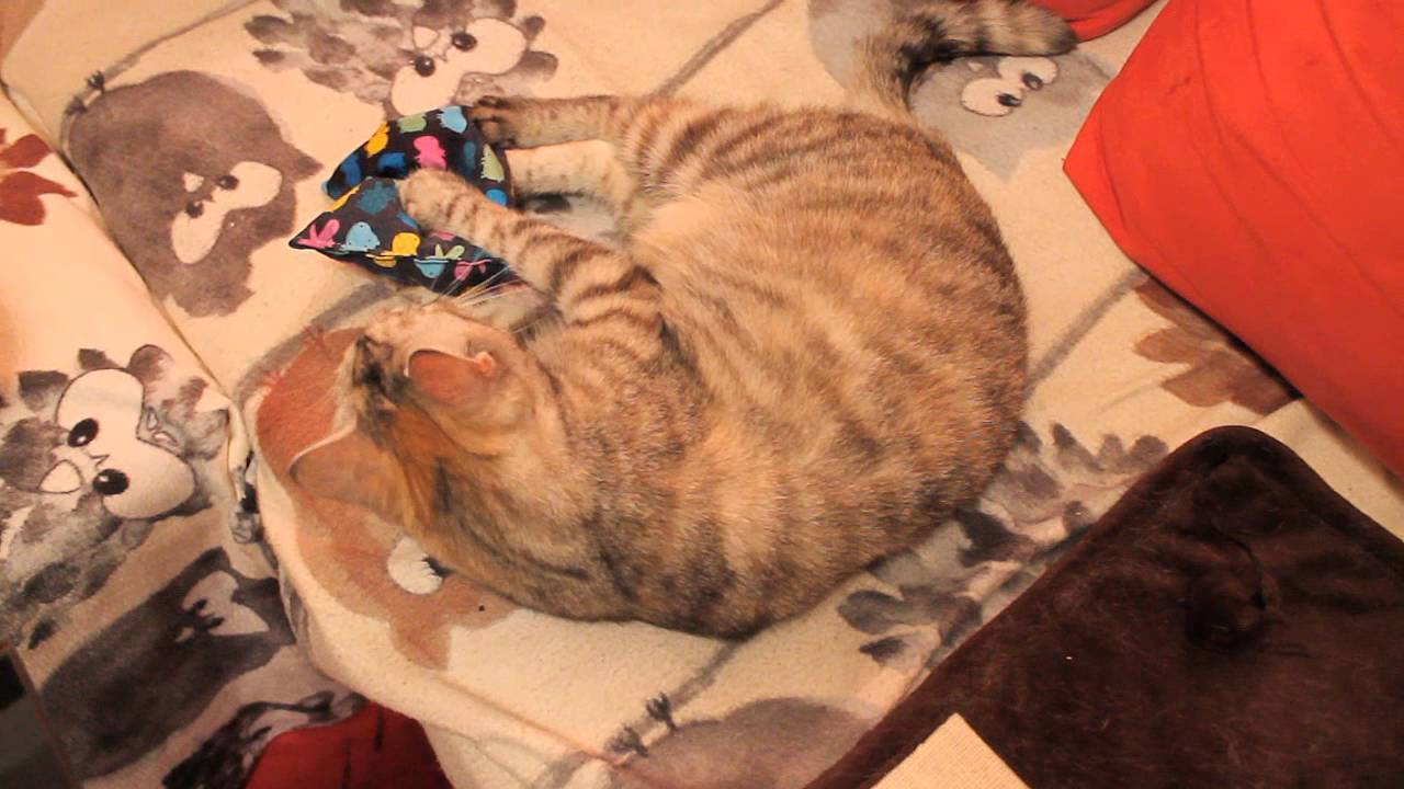 Katze liebt Baldrian Kissen / Cat goes crazy with Valerian Pillow