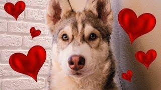 Я ВЛЮБИЛСЯ (Хаски Бублик) Говорящая собака