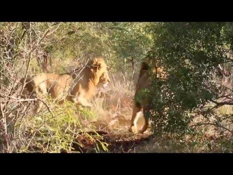 Ferocious lion attack