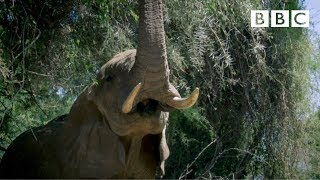 Secrets of an elephants's trunk and tusks - BBC