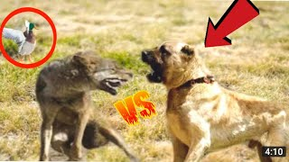 Kangal Saves Duck From a Fox | Kangals Take Down a Wolf!!!