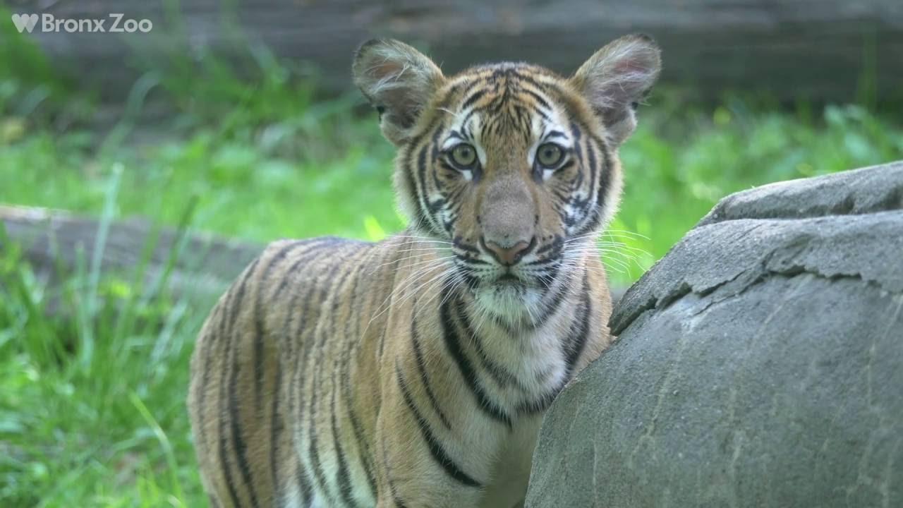 Bronx Zoo Malayan Tiger Cubs On Exhibit Youtube