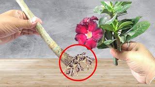 Como fazer Muda de Rosa do Deserto por Estaca Forma mais Fácil