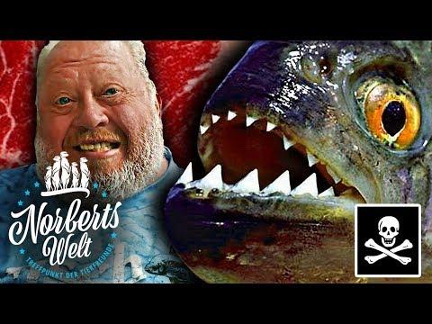 Einer der GEFÄHRLICHSTEN FISCHE der WELT | PIRANHAS für zuhause? | NORBERTS WELT | Zoo Zajac