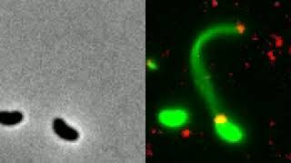 Transferência lateral de genes mediada por pelos de competência