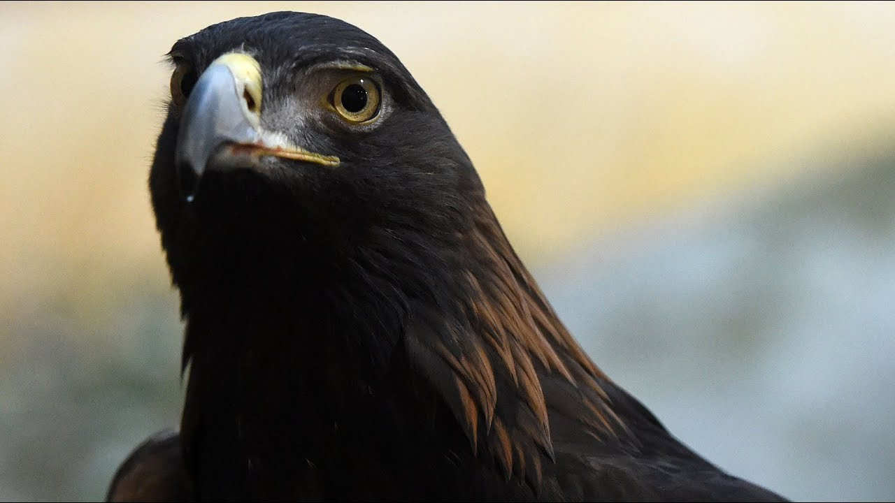Golden eagle predicts Super Bowl LII winner