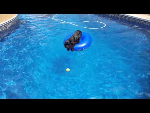 Smarty pants English Cocker retrieves ball from our pool