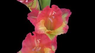 Hybrid Gladiolus Flower Opening Stock Video